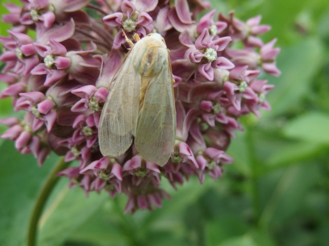 Banded tussock moth on flower