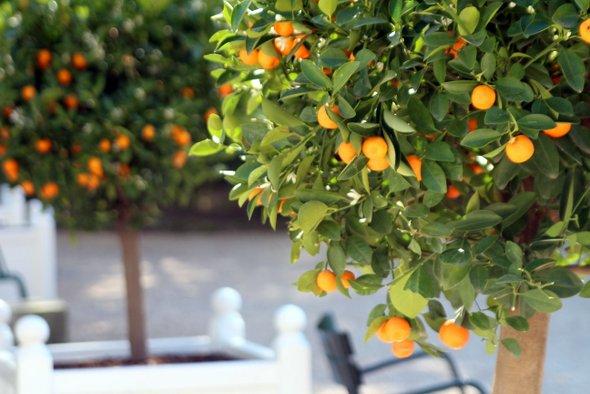 caillebotte-orangers