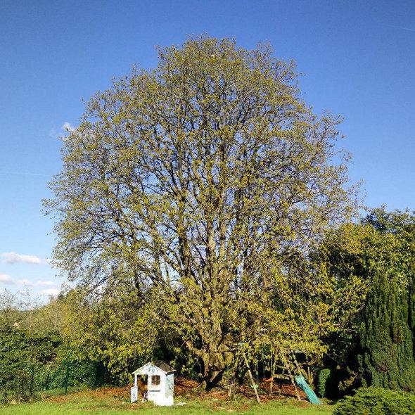 arbre-vivaldi-printemps