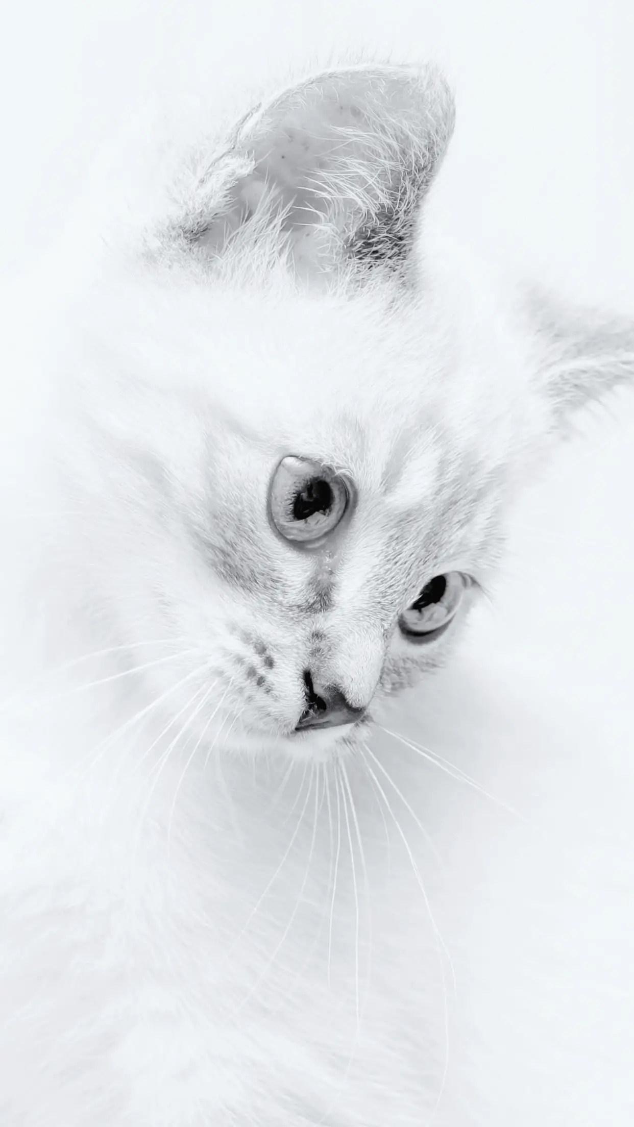 un magnifique chat blanc au visage