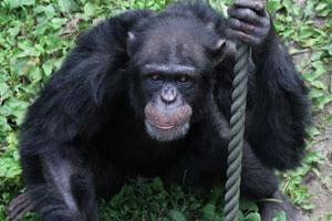 Ayumu le chimpanzé