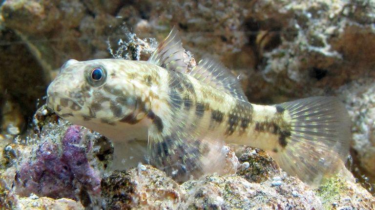 Gobie Bathygobius soporator