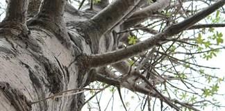 Pohon Baobab Raksasa