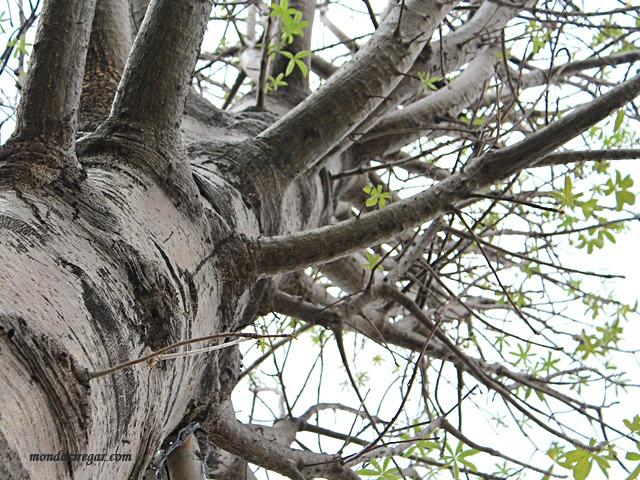"""Pohon Baobab Raksasa """"Ki Tambleg"""" """"Baobab di Waduk Ria Rio"""""""