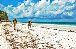 Camels in Diani Beach in Kenya