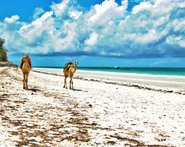Camels in Diani Beach in Kenya