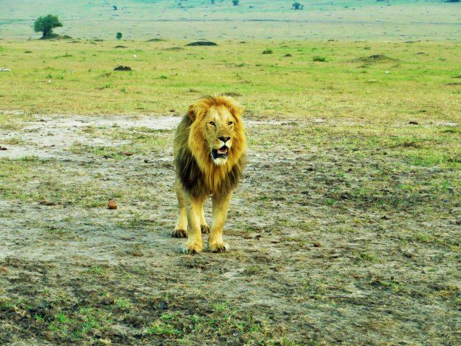 Leão no parque do Maasai Mara, no Quênia, outra opção bacana de safári no continente africano