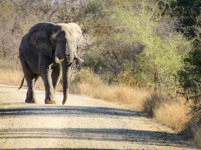 Elefante atravessando a estrada no Kruger Safári, uma das melhores atividades para fazer na África do Sul