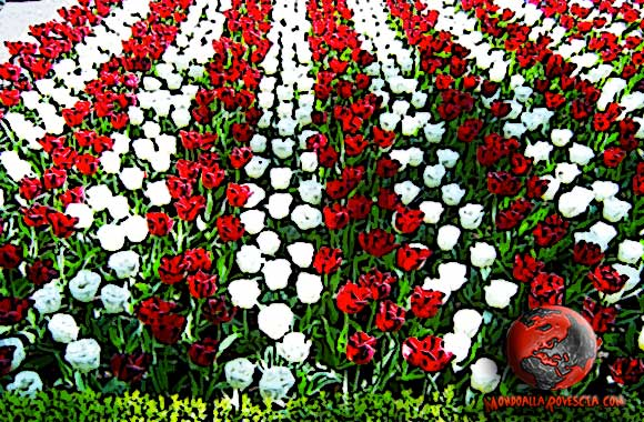 tulipani-rossi-bianchi