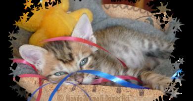 Cucciolo gattino