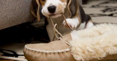 cane addestramento mangia ciabatte