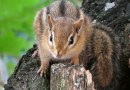 Animali domestici esotici: lo scoiattolo giapponese