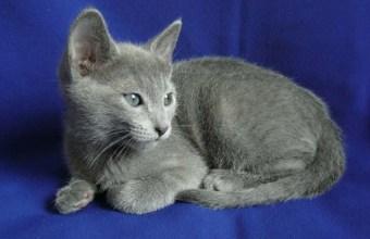 Il gatto Blu di Russia, razze feline