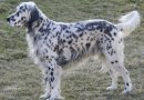 Razze di cani: il setter inglese