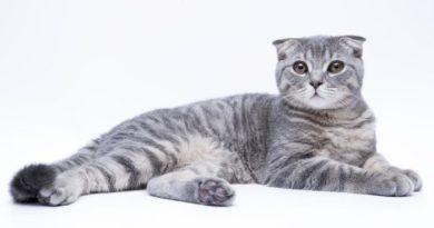 Lo scottish fold, un gatto perfetto per vivere in famiglia