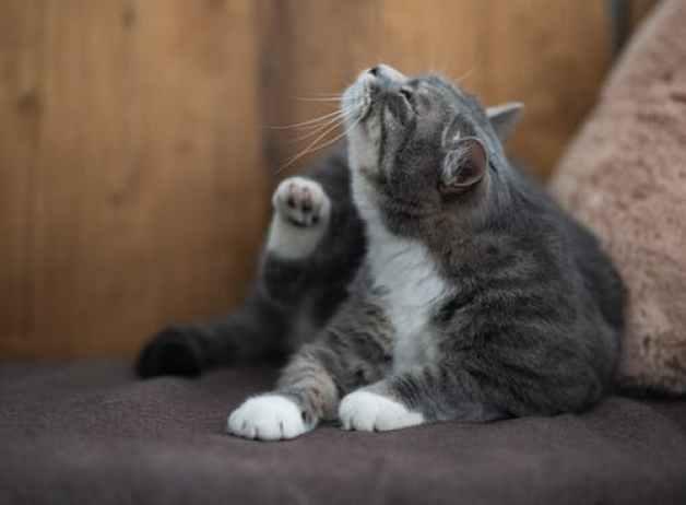 Zecche gatto sintomi