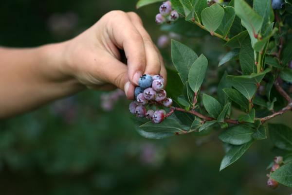 picking blueberries off a bush