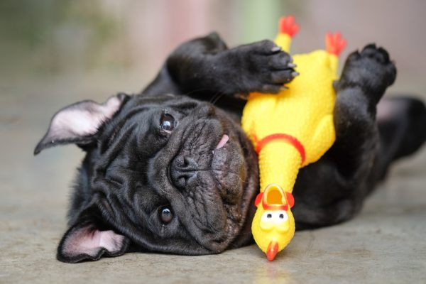 Black pug dog with rubber chicken toy