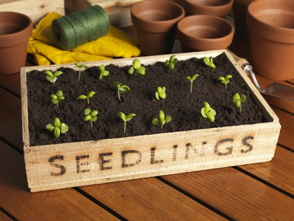Seedlings in a box