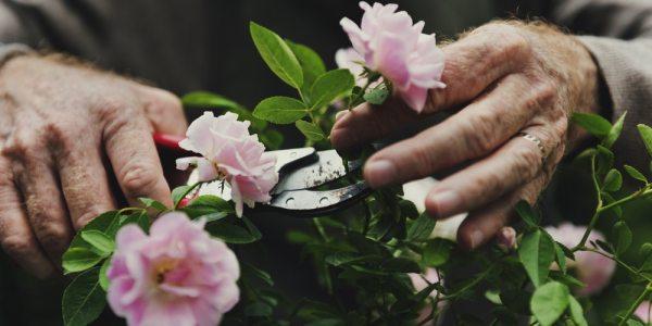 Senior hands gardening