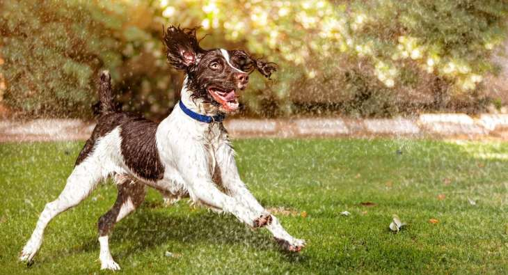 Dogs love to play in the sprinkler on hot days