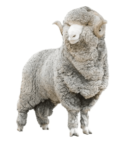 Picture of a sheep with wool