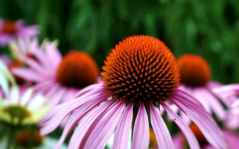 Close up of the coneflower.