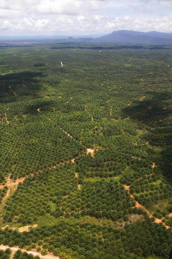 Hutan yang sudah berubah menjadi perkebunan kelapa sawit. Foto: Hendar