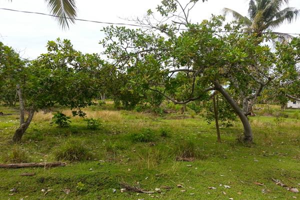 Pohon-pohon jambu mente di Desa Baho Makmur ini kini tak bisa lagi berbuah. Foto: Sapariah Saturi
