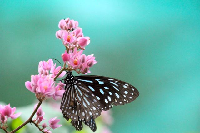Dimana kupu-kupu sekarang