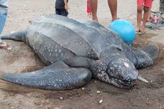 Penyu Belimbing Ini Terjaring Nelayan, Mau Diselamatkan, Malah Hilang. Kok Bisa? : Mongabay.co.id