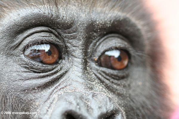 Close up on eyes of young gorilla at rehabilitation center