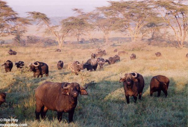 https://i2.wp.com/www.mongabay.com/images/rob_roy/africa/buffalo_01.jpg