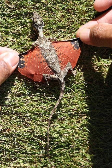 Mini Dragon, Bhutan, Indonesia