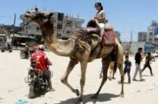 week_79_Camels-animals-in-Gaza