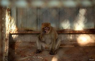 KHAN YUNIS, GAZA STRIP: Al huir del sitio, un mono espera un chequeo médico antes de ser evacuado del enclave sitiado.