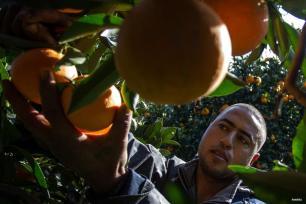 Túnez, Túnez : Antes de ser delicioso zumo, las naranjas está en el árbol