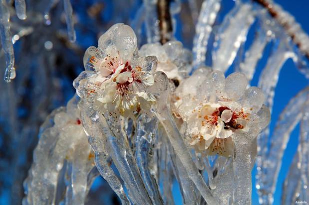ERZINCAN, TURQUÍA- Un ciudadano de Erzincan quería proteger su melocotonero de las heladas durante la noche, por lo que decidió rociar agua en el árbol. Cuando se despertó se encontró esta hermosa fusión!