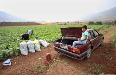 Agricultores palestinos cosechan pepinos en una plantación en la aldea de Nasariya de Cisjordania, al este de Nablús, el 1 de Mayo de 2017 [Ayman Ameen / Apaimages]