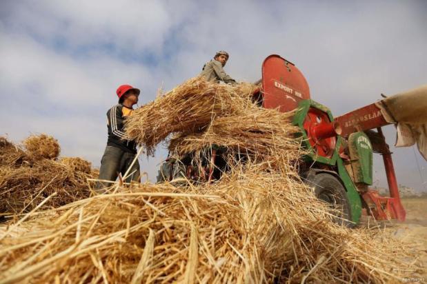GAZA- Los palestinos preparan los campos para la cosecha