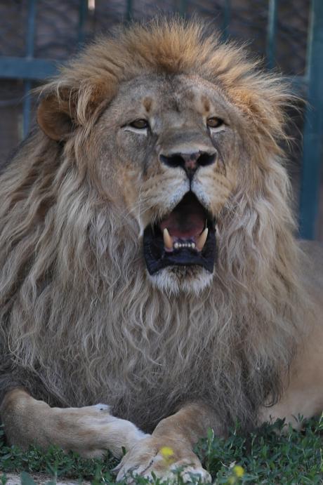 Un león en el zoológico del Municipio Metropolitano de la provincia de Kayseri, Turquía, 30 de julio de 2018 [Sercan Küçükşahin / Agencia Anadolu]