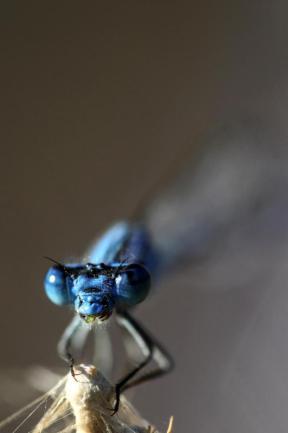Se ve una libélula mientras se alimenta con mosquitos en el distrito de Gevas en Van, Turquía el 8 de agosto de 2018 [Ali İhsan Öztürk / Agencia Anadolu]