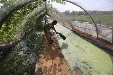 Un agricultor palestino en Gaza ha producido con éxito helechos de azolla, que le permite alimentar a sus animales sin pagar el alto precio del pienso importado [Mohammed Asad / Middle East