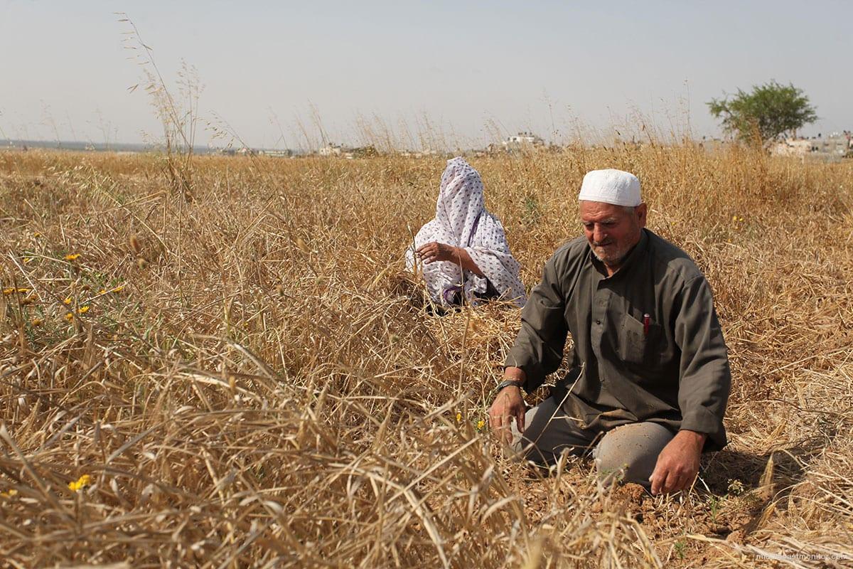Un hombre palestino reacciona cuando el ejército israelí destruye grandes cantidades de agricultura y cultivos. [Foto de archivo]