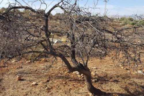 Los agricultores palestinos en Deir Al-Hatib descubrieron la inundación de aguas residuales del asentamiento ilegal Elon Moreh había matado sus olivos y otros cultivos el 24 de octubre de 2017. [Rabinos por los derechos humanos / Twitter]