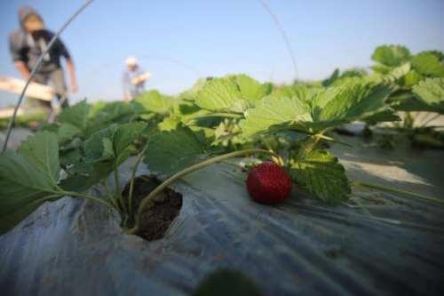 Gaza espera la aprobación para exportar fresas a Europa