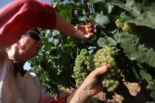 Voluntários cristãos evangélicos colhem uvas Chardonnay no assentamento ilegal de Psagot, na Cisjordânia ocupada, 24 de julho de 2017 [David Silverman/Getty Images]