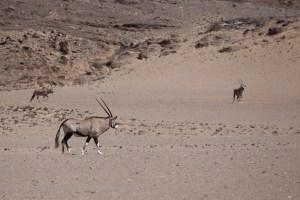 Immer wieder sehen wir Oryx-Antilopen. Hier nahe am Hoanib-River.