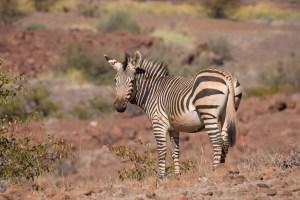 Auf dem Crowthers Trail begegnen wir Zebras, ...