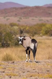 ... Oryx-Antilopen ...